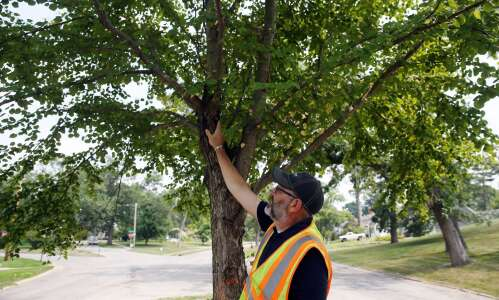 What trees will Cedar Rapids replant after the derecho?