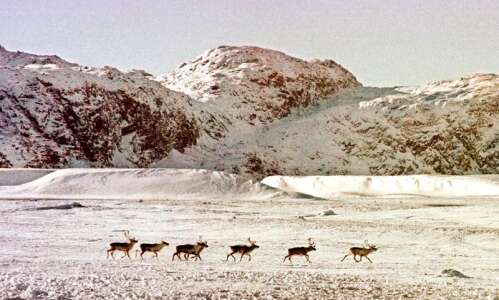 In northern Europe, you might meet a festive reindeer or…