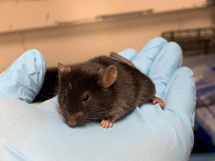 Iowa-developed mice used to test coronavirus therapies