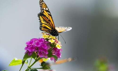 Learn about and help tag monarch butterflies at Hurstville center