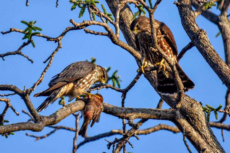 Nesting merlins are first seen in Iowa in a century