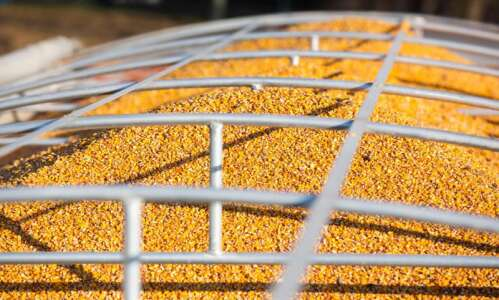 Corn finds new home as 'green' feed