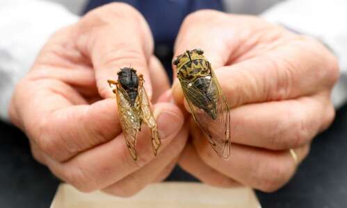 Cicadas all the buzz, but not in Eastern Iowa