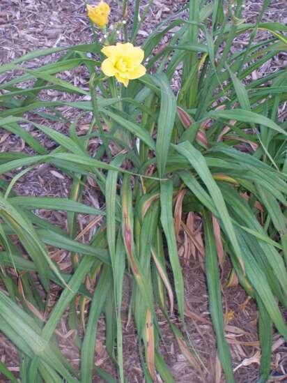 The Iowa Gardener: How to treat dreaded daylily leaf streak
