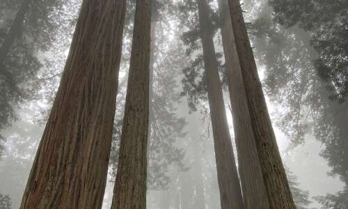 In northern California, the Redwood giants amaze and inspire