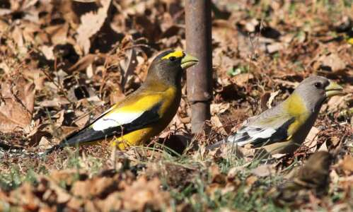Will this be a historic winter for bird-watching?