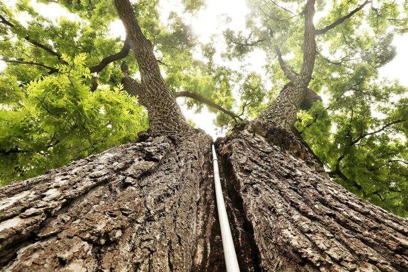 Meet Iowa's big-tree hunter
