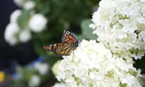 Take Wing: Helping monarch butterflies and other pollinators survive in…