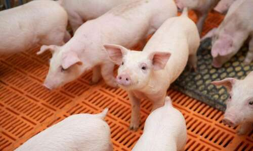 Pork industry in Iowa continues growing