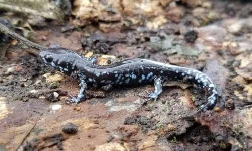 Salamanders slink to spring spawning sites in Iowa