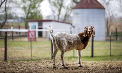 A home for misfit animals: Iowa Farm Sanctuary takes in…