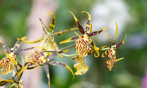 'Orchids are a Scream' returns for Halloween