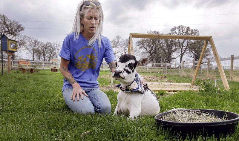 A home for misfit animals: Iowa Farm Sanctuary takes in injured, sick goats, cows, pigs