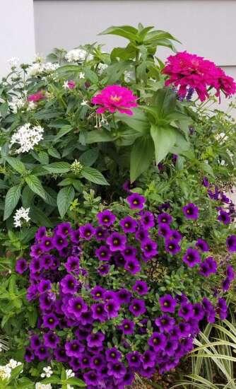 Superbells calibrachoas among the best buys for garden color