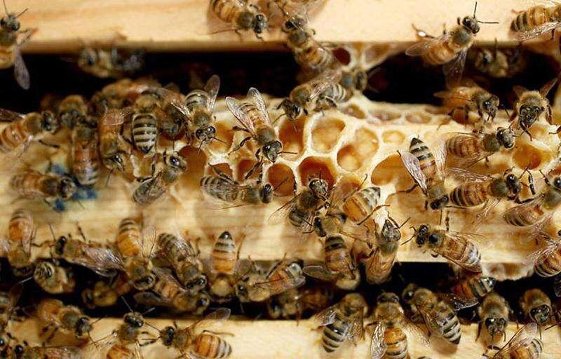 Honeybee insect designation takes flight in Iowa Senate
