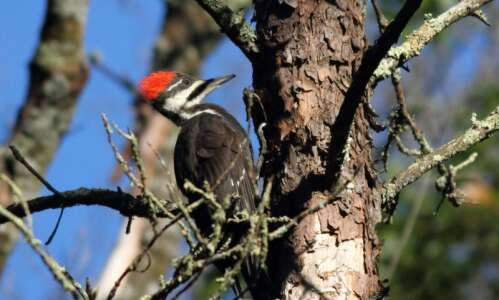 Pileated woodpeckers are here to stay