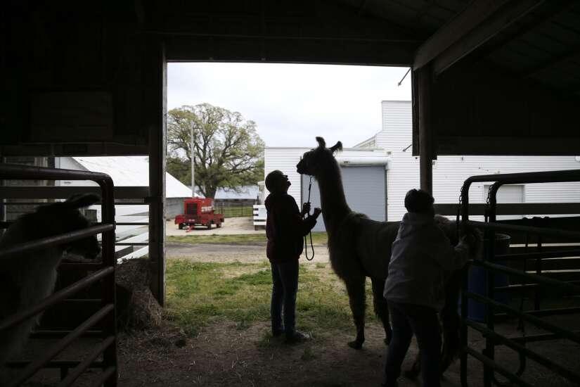 Iowa Photo: Whole llama love