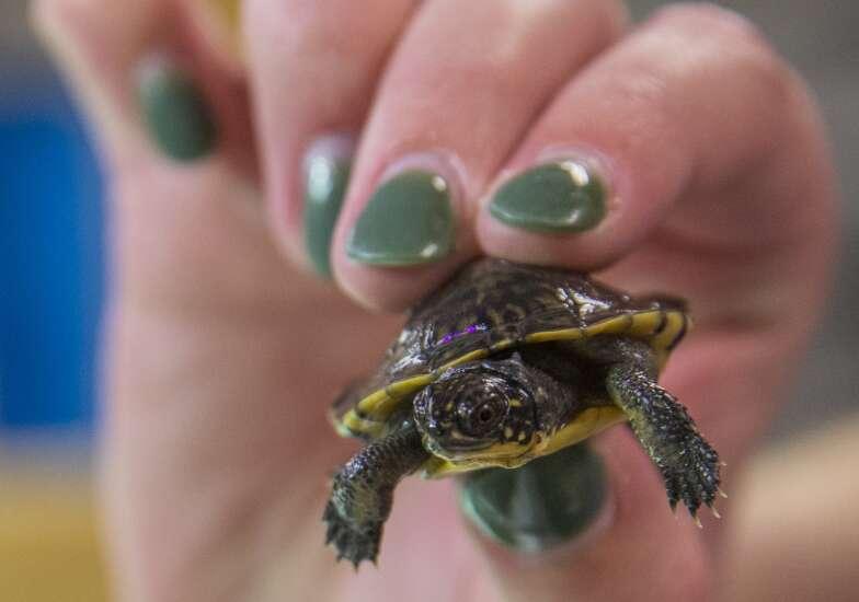 Scarce in Iowa, these Blanding's turtle hatchlings get head start in UNI lab