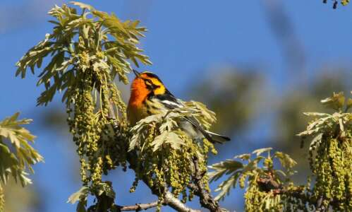May is birding heaven in Eastern Iowa