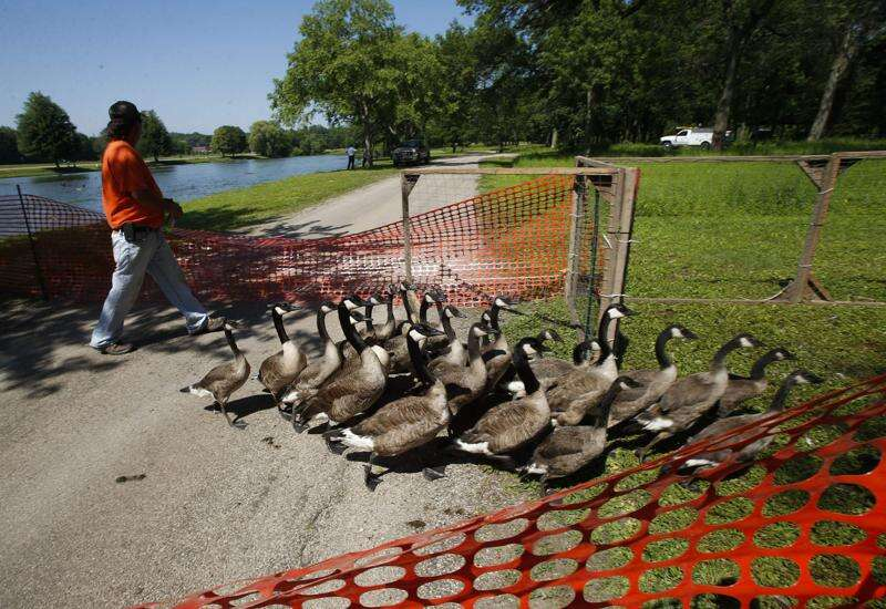 446 Canada geese rounded up for slaughter or relocation