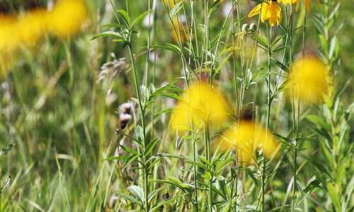 Help with prairie survey, invasive species removal in Jackson County