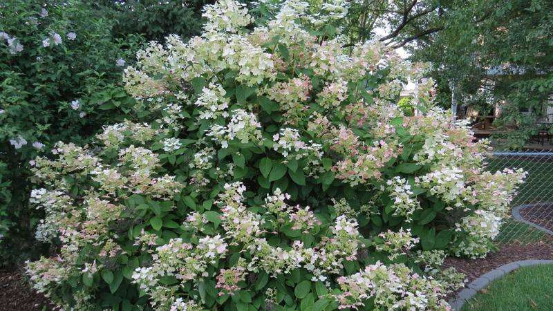 From the Ground Up: Quick Fire hydrangea offers changing colors