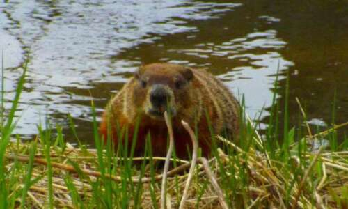 On Topic: Busy as beavers