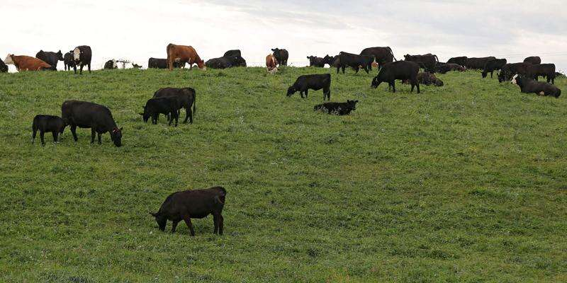 'Mob grazing' helping Iowa cattle producers, pastures