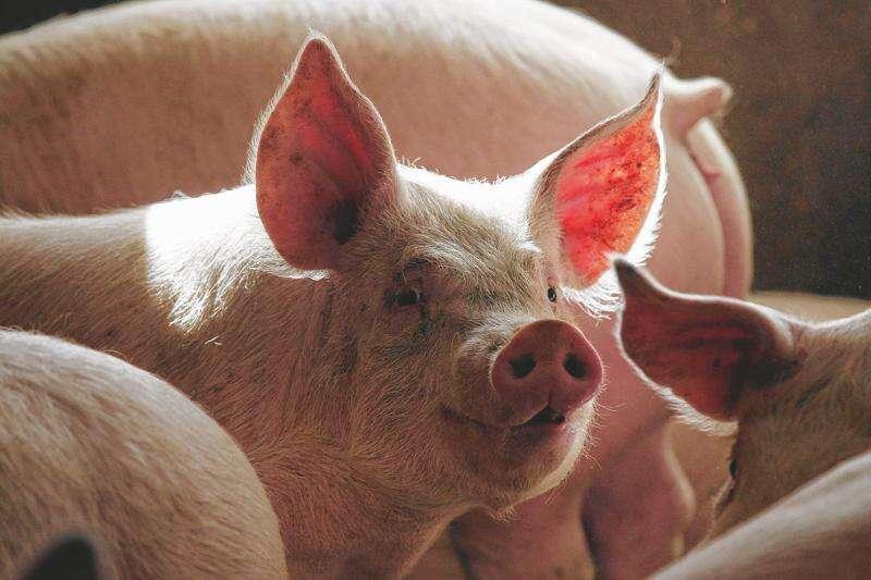 Iowa start-up SwineTech raises $1.3 million to help piglets live