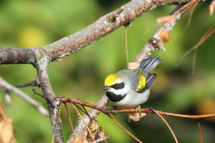 May is birding heaven in Eastern Iowa