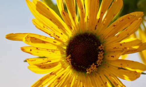 Nature teaches us to slow down, just like the Silphium