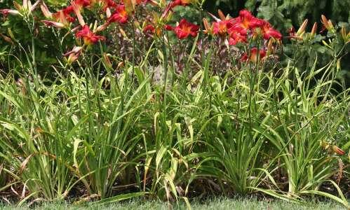 How to treat dreaded leaf streak in daylilies