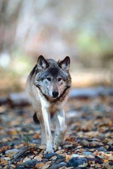 Another wolf slain in Iowa