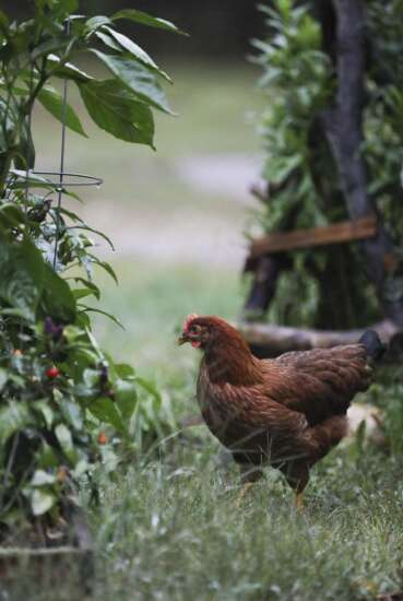 Backyard chickens become increasingly common in Eastern Iowa