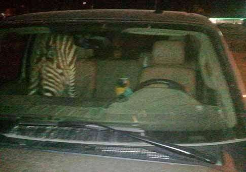 Pet zebra, macaw found in truck outside Dubuque bar