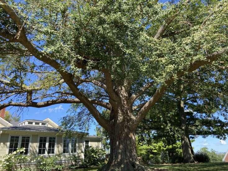 Cornell's beloved 170-year-old ginkgo tree badly damaged by derecho