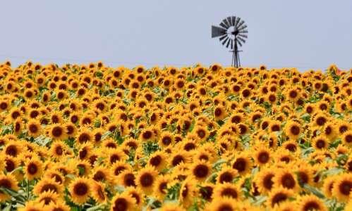 Sunflower field offers a sense of wonder