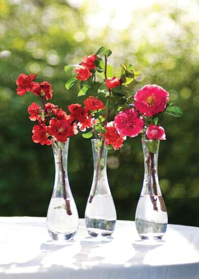 Double Take flowering quince series now offers four colors of huge double blooms