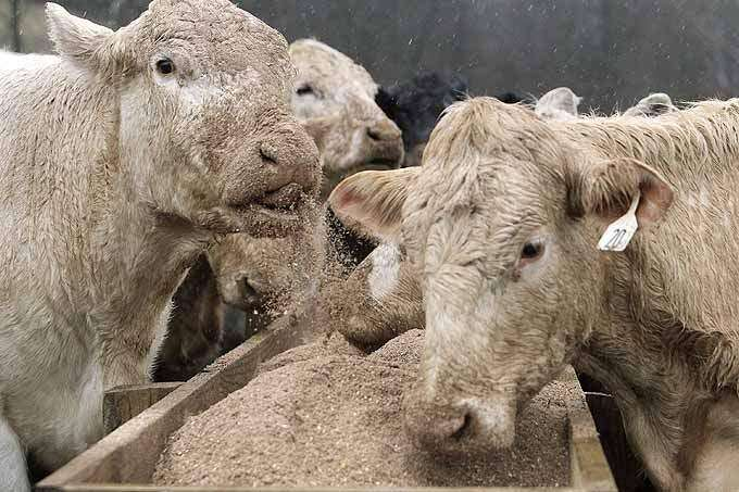 Southeast Iowa cattle herd thriving on sawdust-based feed