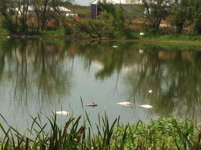 Iowa officials investigating manure spills, fish kills