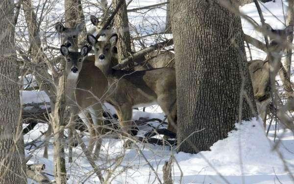 Senator calls for double-fencing to protect wild white-tail deer