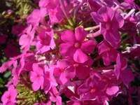 Homegrown: Drought Friendly Pollinator Plants