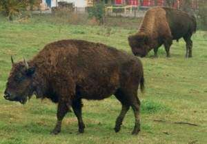 Bison on the run: Buffalo escape from Iowa ranch