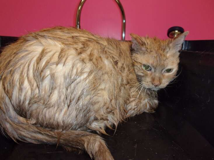 Cat tossed into Cedar River recovering at Cedar Rapids Animal Care & Control, shelter says