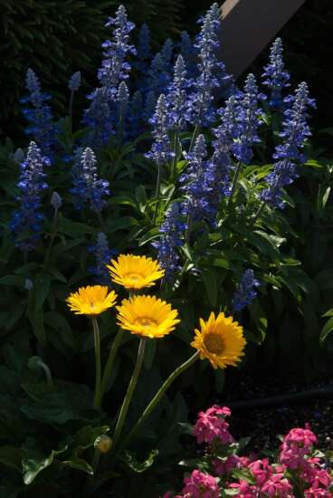 Unplugged So Blue salvia is picture-perfection for any style of garden