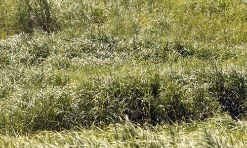 University of Iowa increases biofuel acres