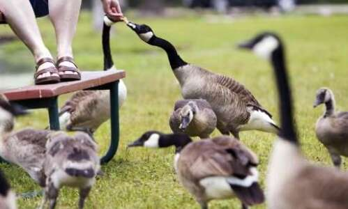 Dogs, guns among options to reduce geese in Cedar Rapids