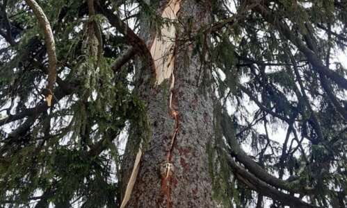 Second tallest Norway Spruce in Iowa destroyed by lightening