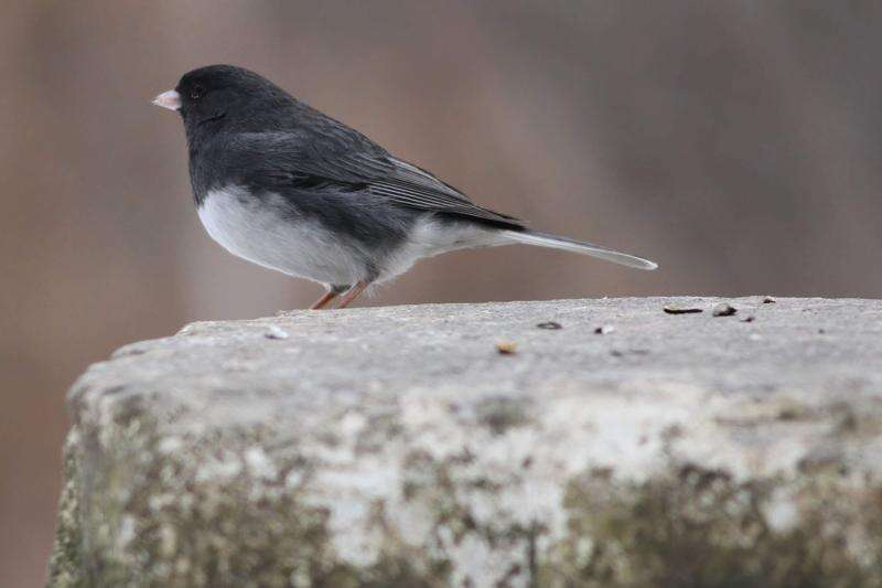 Watch for 'snowbirds' wintering in Iowa