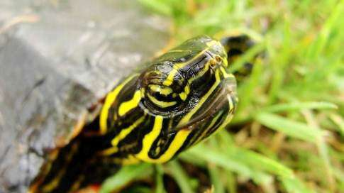 Rising prices raise concerns over hunting turtles in Iowa